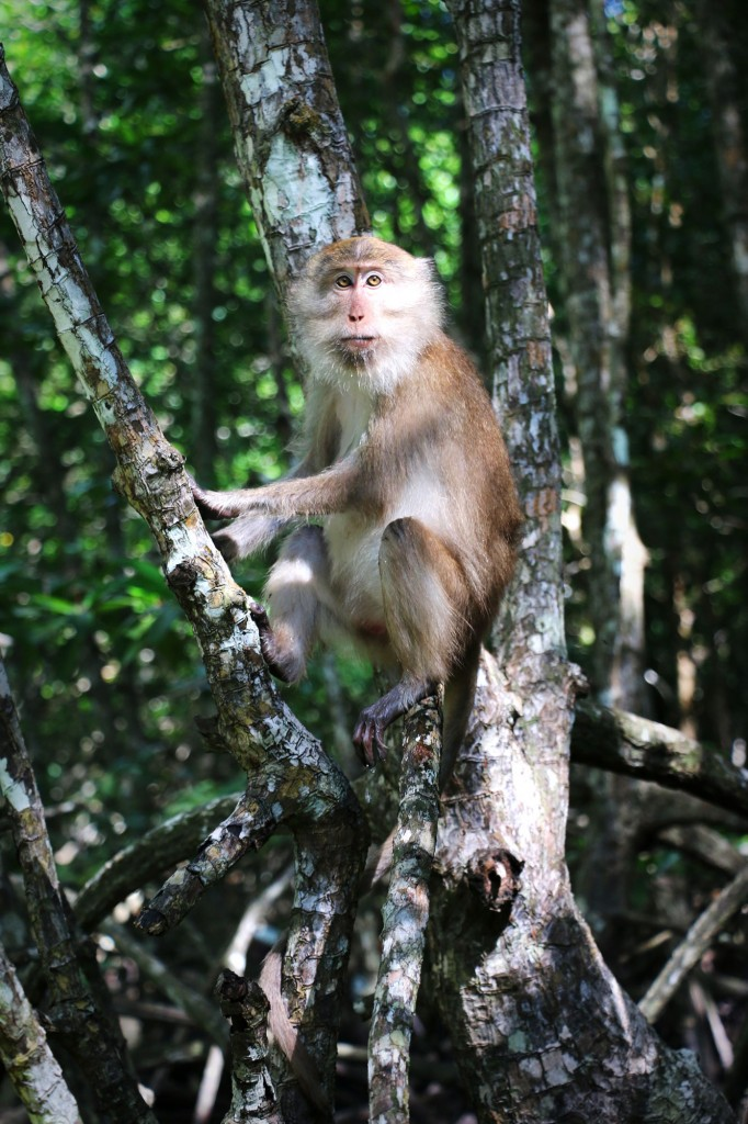 Tha-Lane-Bay-Mangrove-Monkey